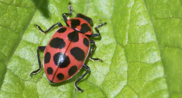 """There is another factor involved: the conservation of natural enemies of the pest species,"" says Anthony Shelton. Predators like ladybird beetles can reduce the number of potentially resistant individuals in a pest population and delay evolution of resistance to Bt. (Credit: Keith Roragen/Flickr)"