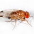 "Drosophila suzukii, also referred to as ""spotted-wing Drosophila"" because the male has large black blotches on his wings (as do males of several other closely related species), is able to penetrate the skins of ripening fruit and lay eggs inside. (Credit: Martin Hauser Phycus/Wikimedia Commons)"