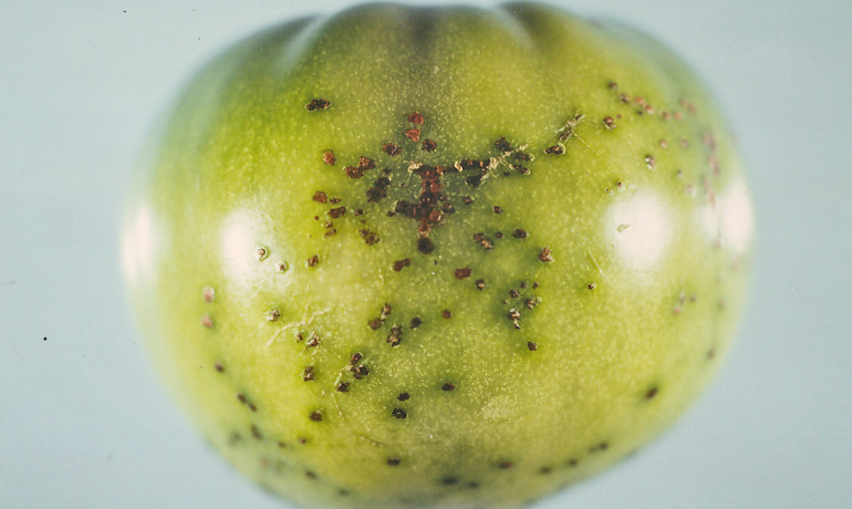 The disease-causing bacterium Pseudomonas syringae on a tomato. (Credit: Scot Nelson/Flickr)