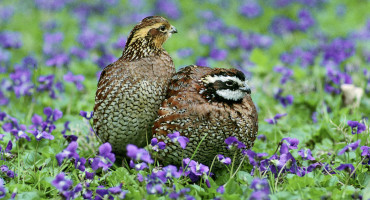 """Our study is important because prior to this, we had no ability to use whole-genome technologies to monitor levels of genetic diversity over time, define the genetic relationships among existing populations, or draw important inferences regarding bobwhite physiological interactions with their environment,"" Chris Seabury explains. (Credit: US Fish & Wildlife Headquarters/Flickr)"