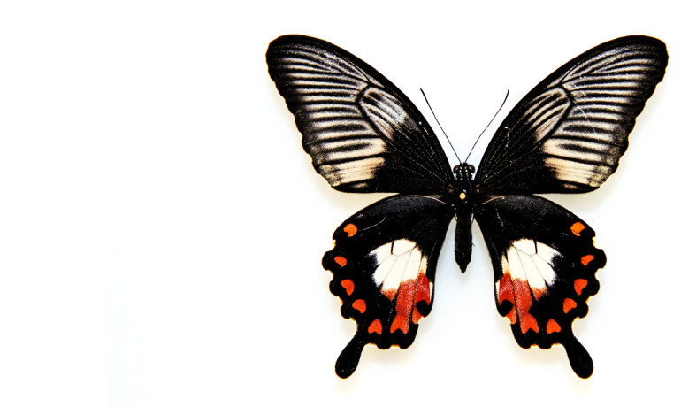 """Conventional wisdom says that it should be multiple genes working together to control the whole wing pattern of a butterfly,"" says Marcus Kronforst. ""But in this case, it's just this one. This single gene that controls sexual differentiation has been co-opted to do a totally new job.""  (Credit: U. Chicago)"
