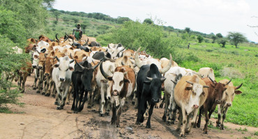 A cattle herder drives his animals in Tanzania. The study linked the spread of pastoralism with the ability to digest milk. (Credit: Penn)