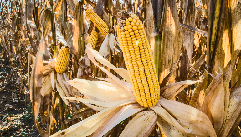 We could see, on average, an increasingly negative effect on crop yields from the 2030s onwards, the researchers say. The impact will be greatest in the second half of the century, when decreases of over 25 percent may become increasingly common. (Credit: USDAgov/Flickr)