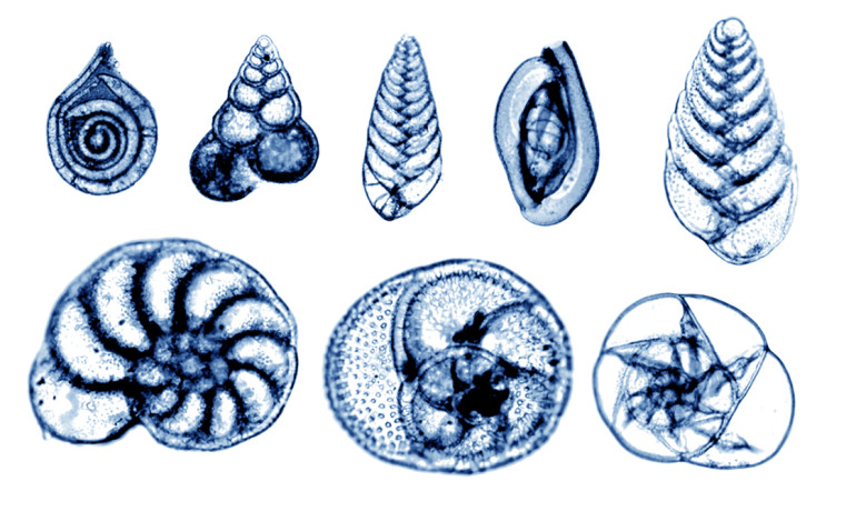 The researchers used the shells of tiny single-celled, bottom-dwelling animals called foraminifera, found in marine sediment in the northern North Atlantic Ocean, to reconstruct the surface ocean conditions and deep ocean circulation of 125,000 thousand years ago. (Credit: pali_nalu/Flickr)