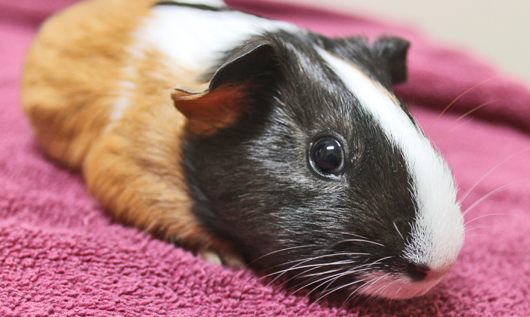 A dietary supplement containing the antioxidants beta carotene and vitamins C and E, as well as the mineral magnesium, reduced the likelihood of hearing loss in guinea pigs taking the antibiotic gentamicin. (Credit: Mariposa Veterinary/Flickr)