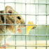 """Mice without the IRX3 gene are thin. """"They are also completely resistant to high-fat diet-induced obesity. They have much better ability to handle glucose, and seem protected against diabetes,"""" says Chin-Chung Hui. (Credit: iStockphoto)"""