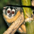 """In the 18 years of the Owl Monkey Project, we never witnessed a little sneaky copulation with a neighbor, or that one partner dashed off for some time,"" says Eduardo Fernandez-Duque. ""So in that sense we were not very much surprised by our results. But true genetic monogamy is very rare. We would not have been surprised if there had been at least one non-pair infant, but there were none."" (Credit:  ""Aotus  azarae infulatus"" Rich Hoyer via Wikimedia Commons)"