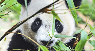 Horses are indeed big on bamboo—and also are drawn to the same sunny, gently sloped spots as pandas in China. Pandas and horses eat about the same amount of bamboo, but a herd of more than 20 horses made for a feeding frenzy, decimating areas the reserve was established to protect. (Credit: iStockphoto)
