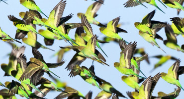 """""""By having a natural mechanism where populations of birds are predisposed to choosing different flight paths around obstacles, an entire flock could avoid situations where they block each other, slow down, lose time, and expend more energy,"""" says Partha Bhagavatula. (Credit: Jim Bendon/Flickr)"""