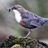 """Wild birds, such as dippers, are very important indicators of environmental well-being and food-web contamination, and we need to know if populations, other species—or even people—are also at risk,"" says Steve Ormerod. (Credit: ""Dipper"" via Shutterstock)"