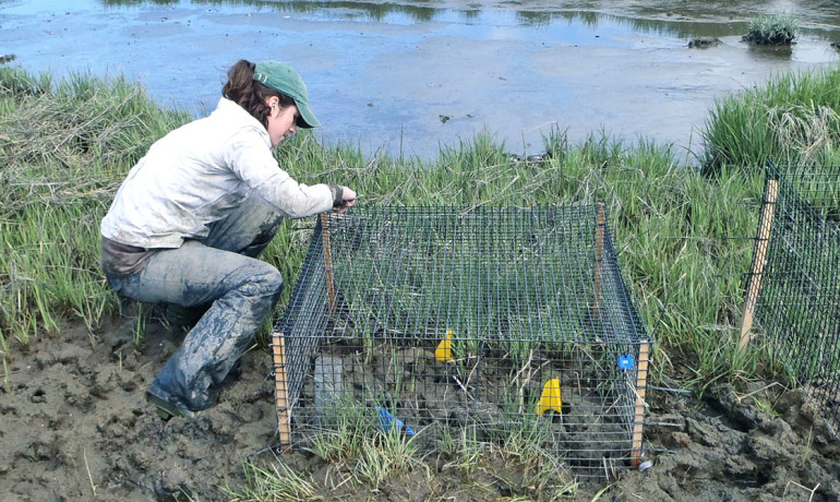 Sinead Crotty checks a cage that protects Sesarma crabs from predators. Excluding predators for a single growing season, the experiment showed, more than doubled Sesarma consumption of marsh grass, with damage above and below ground. (Credit: Bertness lab/Brown)