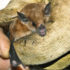 Lonchophylla robusta is one of many bat species found in Panama and Costa Rica, where scientists studied wildlife populations in agricultural areas. (Credit: Matthew Champoux)
