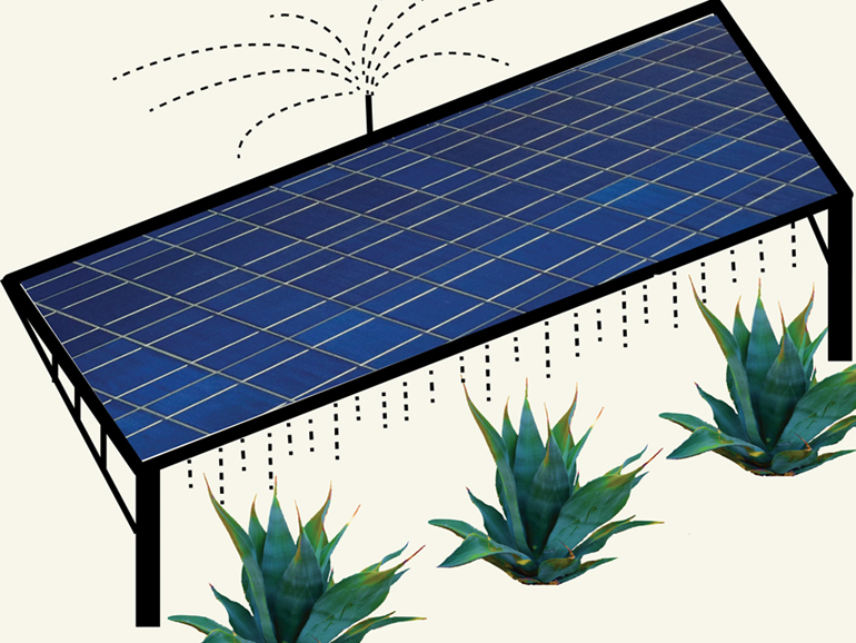 On a co-located solar farm, runoff from water used to clean photovoltaic panels would nourish agave or other biofuel crops. The plants would in turn provide ground cover, helping prevent dust buildup that decreases solar panel efficiency. (Courtesy Sujith Ravi)