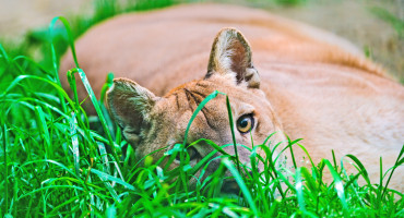 """""""Pleistocene cougars had a 'more generalized' dietary behavior,"""" says Larisa DeSantis. """"Specifically, they likely killed and often fully consumed their prey, more so than the large cats that went extinct."""" (Credit: Tambako the Jaguar/Flickr)"""
