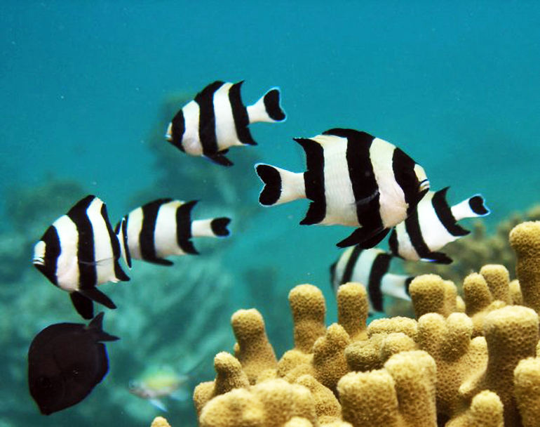 Juvenile fishes from a carbon dioxide seep, such as these damselfishes, were less able to detect predator odor than fishes from a control coral reef, according to the new study. (Credit: Georgia Tech)