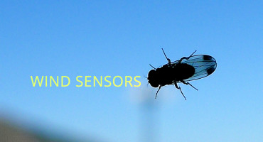 "Beyond learning more about the fly's wind-sensing capabilities, Sawyer Fuller says that this information will also help engineers design small flying robots—creating a sort of synthetic fly. ""Our results suggest that little flying vehicles would also do well to have fast wind sensors to compensate for this delay."" (Credit: John Tann/Flickr)"