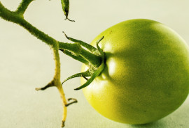 """Green tomatoes are safe to eat in moderation. But we don't know how many green tomatoes a person would need to eat to get a dose of tomatidine similar to what we gave the mice. We also don't know if such a dose of tomatidine will be safe for people, or if it will have the same effect in people as it does in mice,"" says Christopher Adams.  ""We are working hard to answer these questions, hoping to find relatively simple ways that people can maintain muscle mass and function, or if necessary, regain it."" (Credit: Edward Peters/Flickr)"