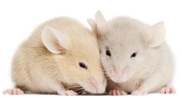 "Male mice, for their part, were tested in an undivided chamber in which they had free access to a female partner in heat. Their sexual behavior was entirely unaffected by the same inflammatory pain. (Credit: ""two mice"" via Shutterstock)"