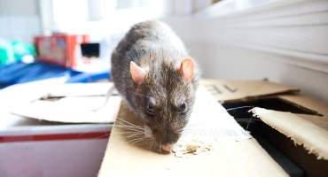 By studying the rats' behavior, researchers are examining the ways impulsivity, working memory, and cognitive flexibility may or may not interact. (Credit: Matt Baume/Flickr)
