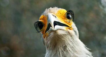 """It is a reality that society is unwilling or unable to protect every single species into the future, so it would make sense to identify and potentially prioritize the most irreplaceable species over others,"" says Walter Jetz. Above, the secretarybird. (Credit: Bart Wursten/Flickr)"