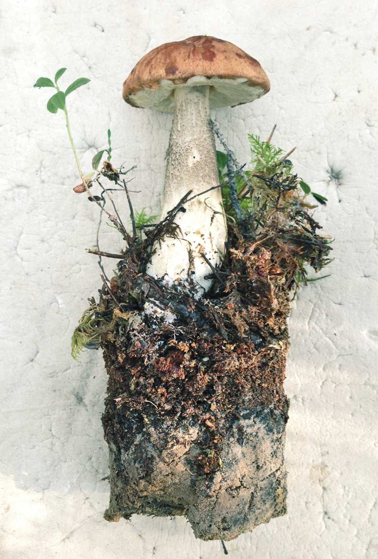 A soil core illustrates changes in soil quality with increasing depth. Here, the fruiting body from a Leccinum species is connected to microscopic filaments (hyphae) which make up the active fungal body and spread throughout the soil. (Credit: Kabir Peay)