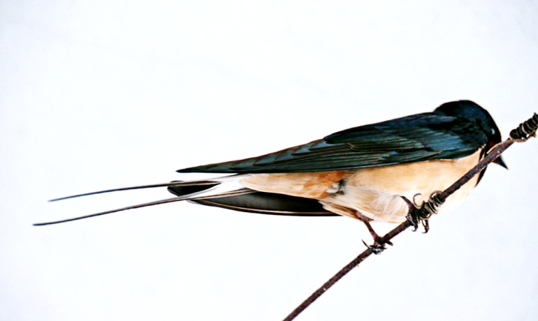 """Using magnetic resonance imaging (no ionizing radiation involved and much cheaper than nuclear medical techniques), we identified a specific imaging feature which has great similarity to a tail of a swallow and therefore decided to call it the 'swallow tail sign,'"" says Stefan Schwarz. ""This sign is absent in Parkinson's disease."" (Credit: Zebarnabe/Flickr)"