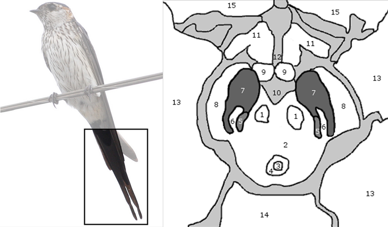 The brain region labeled number 7 in the diagram is the substantia nigra, which resembles the swallow's tail in healthy brains. (Credit: PLOS ONE 9(4): e93814. doi:10.1371/journal.pone.0093814)