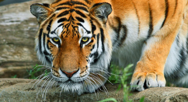 """Since genetic variability is the raw material for future evolution, our results suggest that without interbreeding subpopulations of tigers, the genetic future for tigers is not viable,"" says Uma Ramakrishnan. (Credit: Shane Gorski/Flickr)"