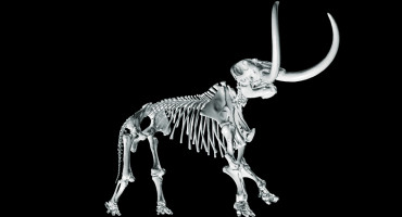 This 3D digital skeleton of an adult male mastodon is part of the new University of Michigan Online Repository of Fossils website. (Credit: courtesy of the University of Michigan Museum of Paleontology)