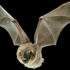 """Because bats have these muscles in their wings, and also bones that can control the general shape as well, they can adopt any number of profiles,"" says Jorn Cheney. (Credit: Swartz-Breuer lab/Brown University)"