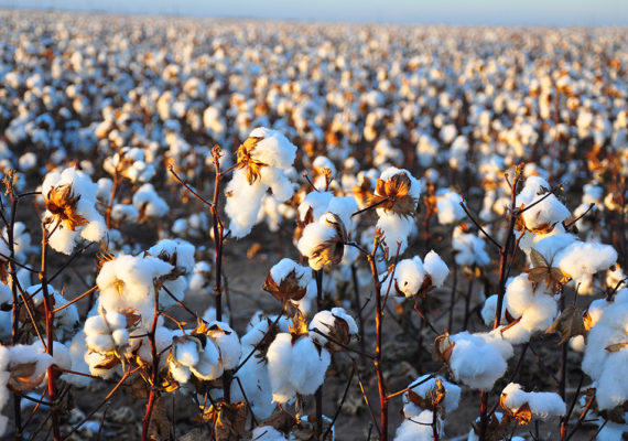 The pink bollworm, a major pest for cotton growers, has been nearly eradicated in some parts of the United States thanks to genetically engineered plants, but the same is not true in India. (Credit: Kimberly Vardeman/Flickr)