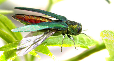 """Emerald ash borers now have infested at least 22 states and two Canadian provinces and have become the most destructive and costly forest insect to ever invade North America, Deb McCullough says. """"Emerald ash borers are killing trees so fast across such a large geographic area, that nobody actually knows how many trees are dead,"""" she says. """"We do know there are tens of millions of dead ash in lower Michigan alone."""" (Credit: David Cappaert/Michigan State University via USDA/Flickr)"""