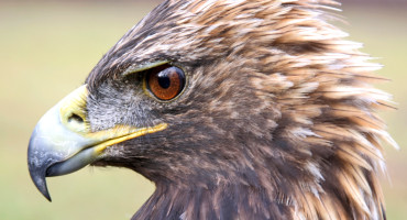 Golden eagles have far more genes associated with smell, the genome shows, indicating that the birds might use smell to locate prey more than researchers thought. (Credit: Purdue University)
