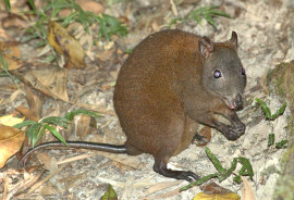 """""""We need to carefully protect its habitat because it is too specialized to be relocated elsewhere and is an important contributor to its environment,"""" says Kenny Travouillon. (Credit: PanBK/Wikimedia Commons)"""