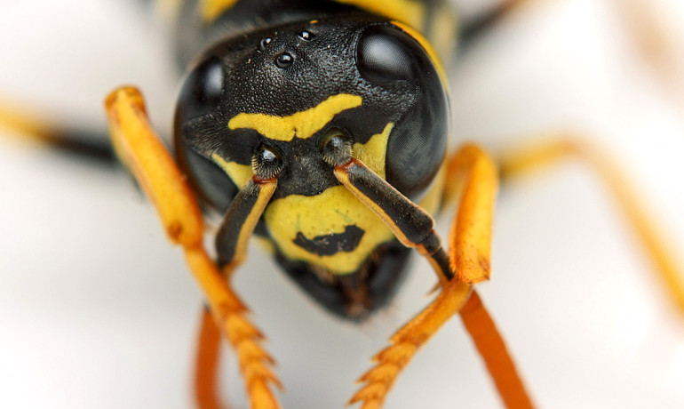 """Larger facets in their compound eyes mean better vision, but we found that as these wasps get smaller, they have larger than expected eyes,"" says Michael Sheehan.  ""This demonstrates that they evolved improved acuity relative to size in order to discriminate among different individuals in the colony."" (Credit: Dan Bergstrom/Flickr)"