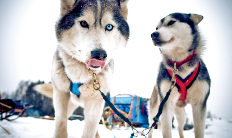 The lead cell is tethered by E-caderin to other cells in the cluster and pulls them in the proper direction in the same way the lead sled dog guides its team. (Credit: kris krüg/Flickr)