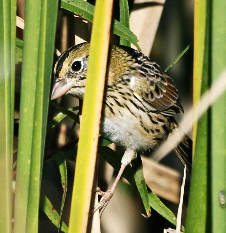 Henslow's sparrow. (Credit: Paul Hurtado/Flickr)