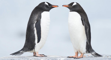 """What is particularly interesting is that after the ice age, all of these penguin populations were climate change 'winners,'"" says Gemma Clucas. ""That is to say the warming climate allowed them to expand and increase in number. However, this is not the pattern we're seeing today."" (Credit: Christopher Michel/Flickr)"
