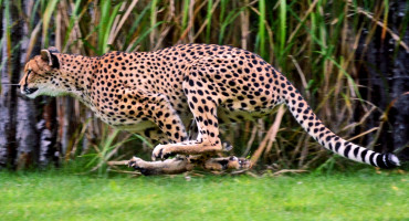 "The shoulder blades of leopards—ambush predators who grapple with rather than chase their prey—and those of cheetahs (above)—pursuit predators who chase their prey over a longer distance—measure very differently. So do their forearm bones, says Christine Janis. ""The main differences in the forelimbs really reflect adaptations for strength versus adaptations for speed."" (Credit: Charles Barilleaux/Flickr)"