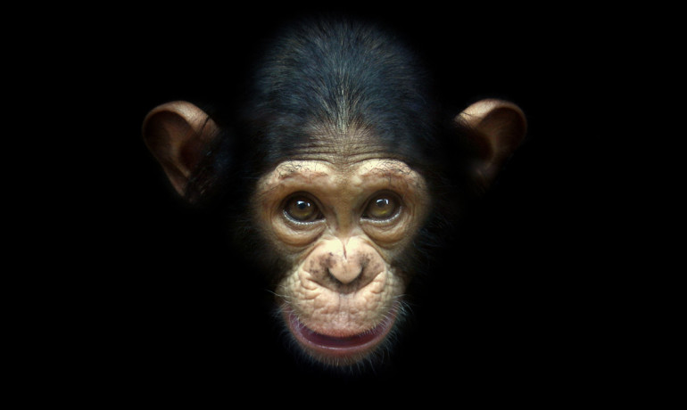 Scientists say there are several factors that help explain why chimps consistently outperform humans in strategy games. Compared to people, chimps have excellent short-term memory and they may have evolved to be more competitive and less cooperative. (Credit: owenbooth/Flickr)