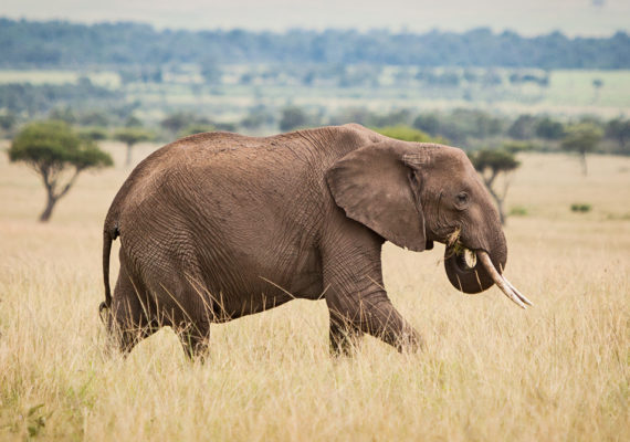 """""""It's a nice example of how conservation needn't be about sacrifice. It often is—let's be honest. But there are situations where you can get a win-win,"""" he says. """"This opens the door for people whose main interest is cattle to say, 'Maybe I do want elephants on my land.' Elephants have a reputation as destructive, but they may be playing a role in keeping pastures grassy."""" (Credit: Matt Biddulph/Flickr)"""