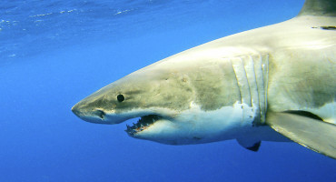 """White sharks are the largest and most charismatic of the predator sharks, and the poster child for sharks and the oceans in general,"" says George Burgess. ""If something is wrong with the largest, most powerful group in the sea, then something is wrong with the sea, so it's a relief to find they're in good shape."" (Credit: iStockphoto)"