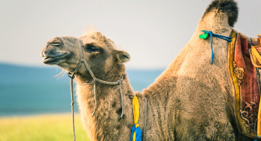 Camels have recently been implicated in the transfer of the deadly Middle East respiratory syndrome virus to humans. The new discovery of a equine virus in a camel further demonstrates the potential for their role in zoonotic diseases, which are passed from animals to people. (Credit: Sergio Tittarini/Flickr)