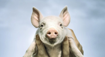 """Now that we know that human stem cells can thrive in these pigs, a door has been opened for new and exciting research by scientists around the world,"" says R. Michael Roberts. ""Hopefully this means that we are one step closer to therapies and treatments for a number of debilitating human diseases."" (Credit: iStockphoto)"