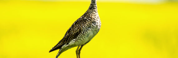 Researchers argue that the loss of habitat continues to be the best explanation for the drop in population of grassland birds, such as the upland sandpiper. (Credit: Daniel Arndt/Flickr)