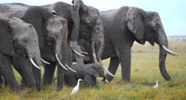 African elephants in the wild. (Credit: Professor Phyllis Lee/University of Stirling)