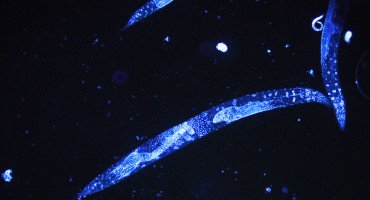 C. elegans worms