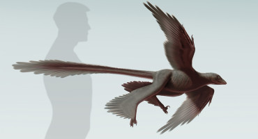Rreconstruction of Changyuraptor yangi