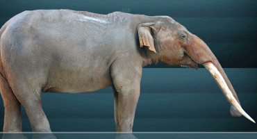 "Gomphotheres were smaller than mammoths—about the same size as modern elephants. (Credit: ""Cuvieronius"" by Sergiodlarosa via Wikimedia Commons)"