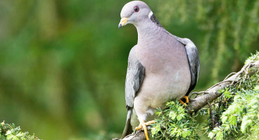 """What makes this disease more troublesome for band-tailed pigeons is their low reproductive rate—about one chick per year—and also that these events are occurring in the wintertime,"" says Krysta Rogers. (Credit: ""band-tailed pigeon"" via Shutterstock)"